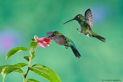 Talamanca Hummingbird and Fiery-throated Hummingbird