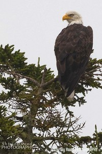 BALD EAGLE ACADIA NATIONAL PARK