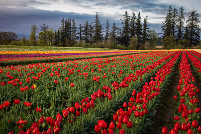 Tulips to the Trees