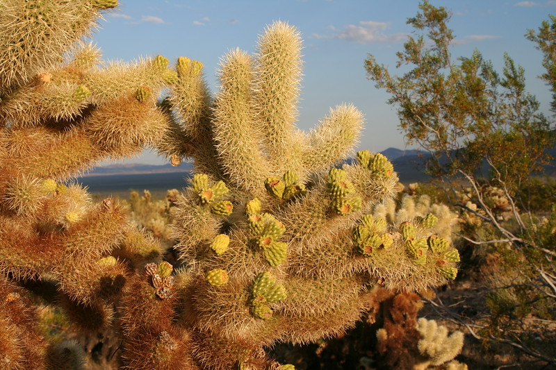 What's the plural of `cactus'?