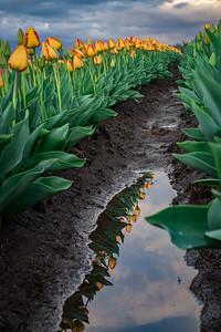 Tulip Reflections