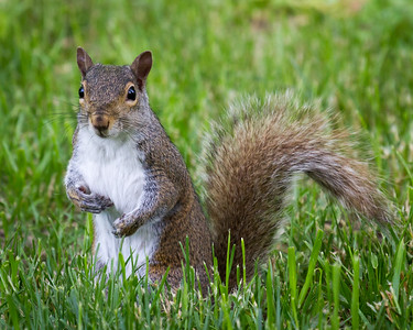 Squirrel in the Olney Park