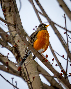 Robin in the Cold Winter
