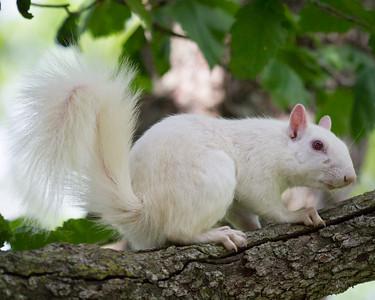 White Squirrel Second Glance