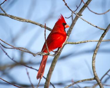 Beautiful Red Bird:  The Cardinal