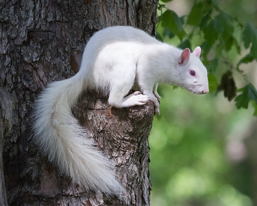 White Squirrel on Knot of Tree