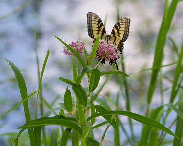 Tiger Swallowtail at Millers Grove