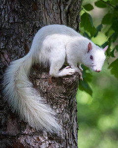 White Squirrel Here's to Lookin at You, Kid