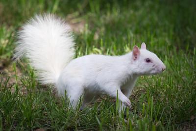 White Squirrel in Grass