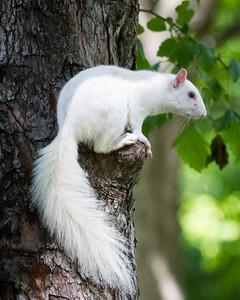 White Squirrel Just a Sittin