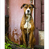 Guarding the Door - Highly Commended Penrith Show 2012