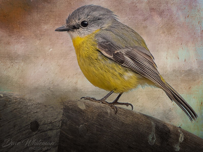 Eastern Yellow Robin