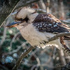 Kookaburra at Mt Tomah Botanical Gardens.
