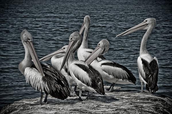 Harrington Pelicans