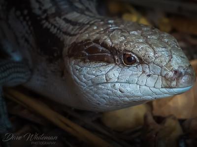 Eastern Blue Tongued Lizard