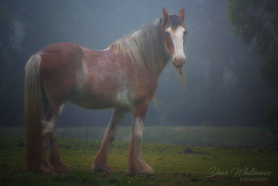 Mountain Clydesdale