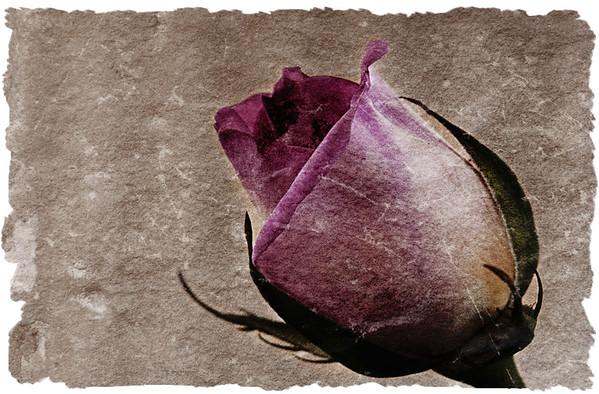Rose in Stone