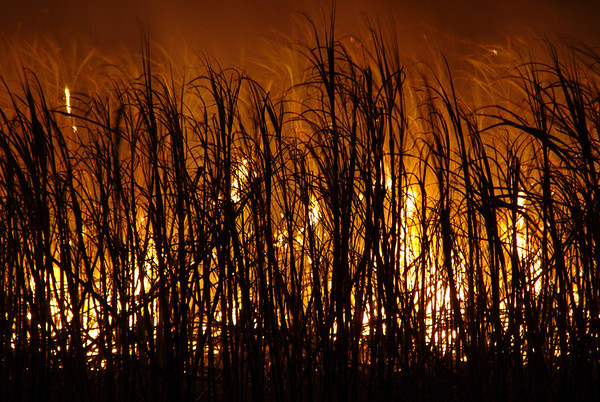 Cane Fire... Highly Commended 2011 Penrith Show