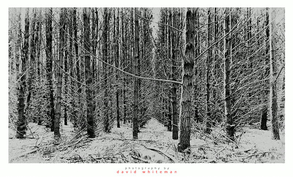 Pine Forest After Snow