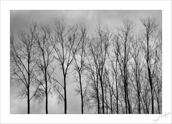Winter Trees - Belimbopinni