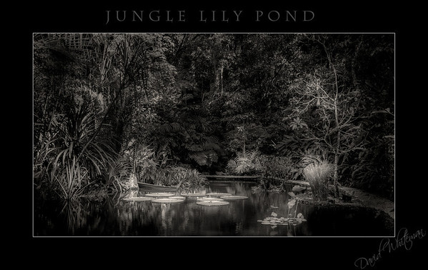 Jungle Lily Pond