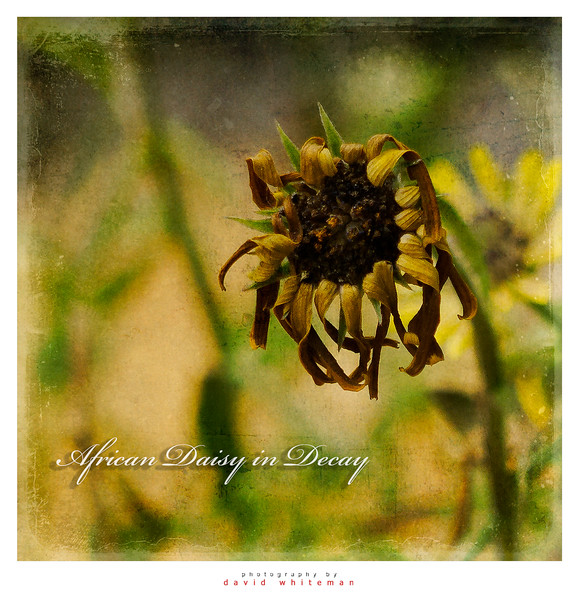 African Daisy in Decay