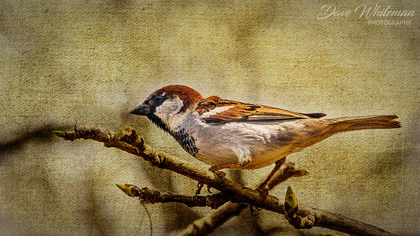 Sparrow on Canvas