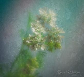 Flowering Coriander