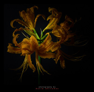 Chinese Spider Lily