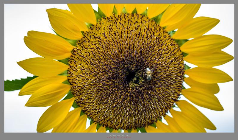 Singapore Sunflower