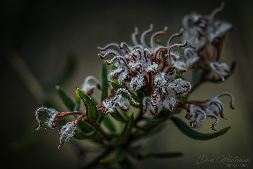 Grey Spider Flower