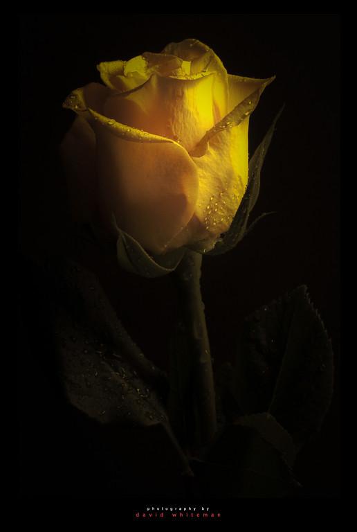 Easter Rose