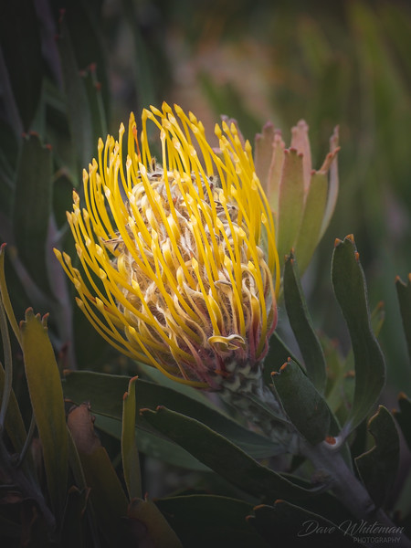 Yellow Protea