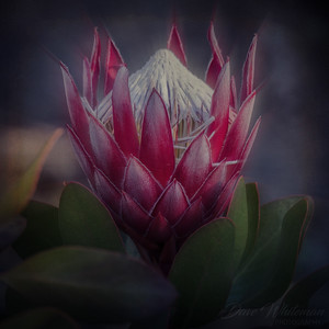 Blooming Protea