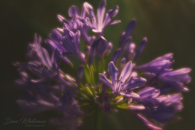 Agapanthus in the Morning Light