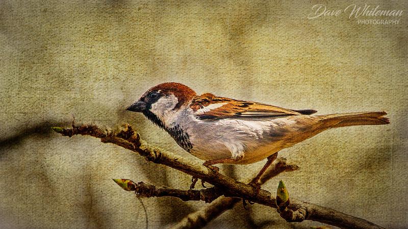 Sparrow on Canvas