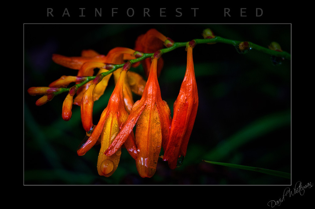 Rainforest Red