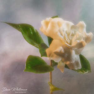 First Gardenia of Summer.