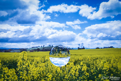 Lensball on Canola