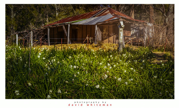 Jonquils by the Old Bush Hut
