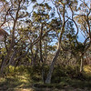 Scribbly Gum Forest