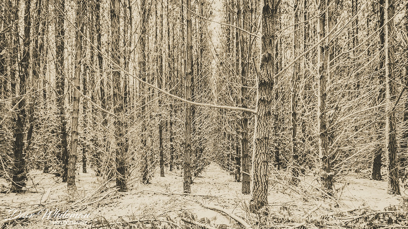 Pine Forest snow
