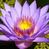 Eye of the Lotus
