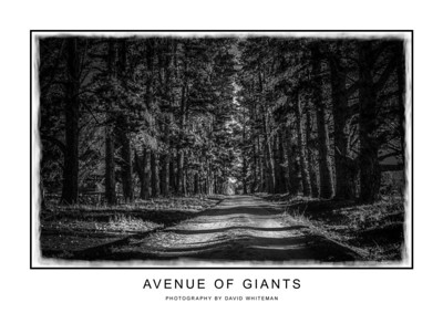 Avenue of Giants