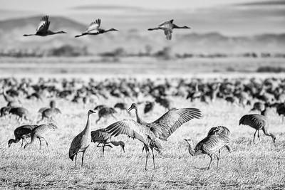 Sandhill Cranes at Monte Vista National Wildlife RefugeSandhill Cranes at Monte Vista National Wildlife Refuge