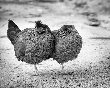 Playing Chicken: The Single Leg Stand Off, Fine Art Photography, Black and White