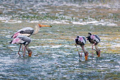 Painted Stork (Mycteria leucocephala) Kalindi Bird Sanctuary Sector 95, New Okhla Industrial Development Area, DL, India The Painted Stork (Mycteria leucocephala) is a large wading bird in the stork family. It is found in the wetlands of the plains of tropical Asia south of the Himalayas in South Asia and extending into Southeast Asia. Their distinctive pink tertial feathers give them their name. They forage in flocks in shallow waters along rivers or lakes. They immerse their half open beaks in water and sweep them from side to side and snap up their prey of small fish that are sensed by touch. As they wade along they also stir the water with their feet to flush hiding fish. They nest colonially in trees, often along with other waterbirds. They only sounds they produce are weak moans or bill clattering at the nest. They are not migratory and only make short distance movements in some parts of their range in response to food and for breeding. Like other storks, they are often seen soaring on thermals.