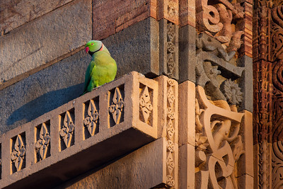 Rose-ringed Parakeet (Psittacula krameri) Qutub Minar