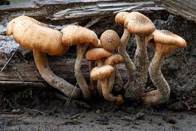 mushroom; fungi