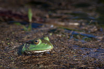 Bullfrog, Rana catesbeiana (Ranidae) taken at the Clarence Cannon National Wildlife Refuge, Annada, Missouri RFP 10x15 - Bill Dahl (WMDahl)